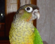 Conure- Yellow Parrots (240 5 ) 83- 03 - 93
