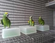 cute amazon parrots (240 5 ) 83- 03 - 93