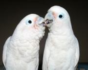 goffins cockatoo parrots (240 5 ) 83- 03 - 93