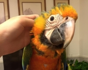 Blue and Black  Cute Macaw Parrots (240 5 ) 83- 03 - 93