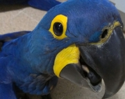 HYACINTH MACAW PARROTS (240 5 ) 83- 03 - 93