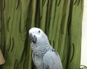 well trained tiji parrots (240 5 ) 83- 03 - 93