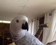 amazon parrot eggs (240 5 ) 83- 03 - 93