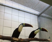 cute and nurtured TOCO TOUCANS PARROTS (240 5 ) 83- 03 - 93