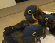 Baby Hyacinth Macaw Parrots (240 5 ) 83- 03 - 93