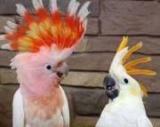 major cockatoo parrots (240 5 ) 83- 03 - 93