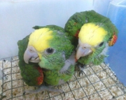 Well Trained Double Yellow Head Parrots (240 5 ) 83- 03 - 93