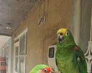 playful amzon parrots (240 5 ) 83- 03 - 93