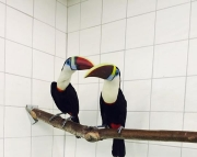 very playfull TOCO TOUCANS PARROTS (240 5 ) 83- 03 - 93