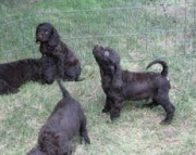 American Water Spaniel Puppies For Sale