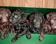 Curly-Coated Retriever Puppies For Sale