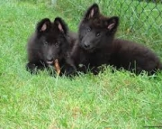 Belgian Sheepdog Puppies For Sale