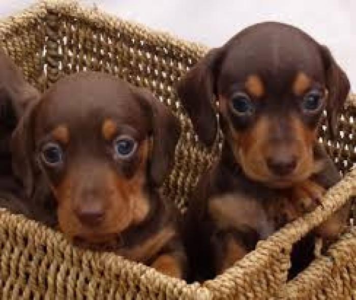 Dachshund Miniature Puppies For Sale Handmade Michigan