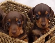 Dachshund (Miniature) Puppies For Sale