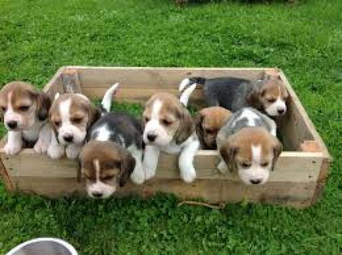 Beagle Puppies For Sale Handmade Michigan