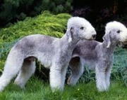 Bedlington Terrier Puppies For Sale
