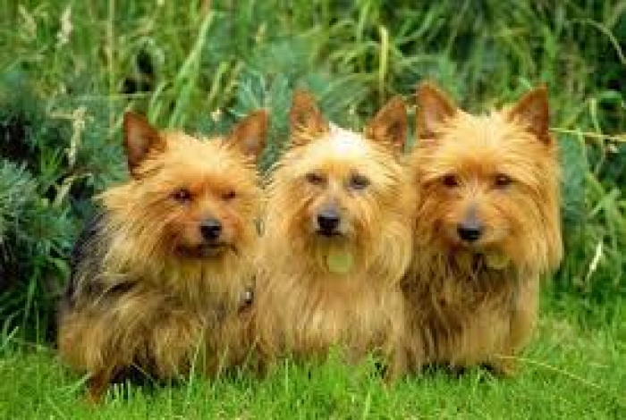 Australian Terrier Puppies For Sale Handmade Michigan