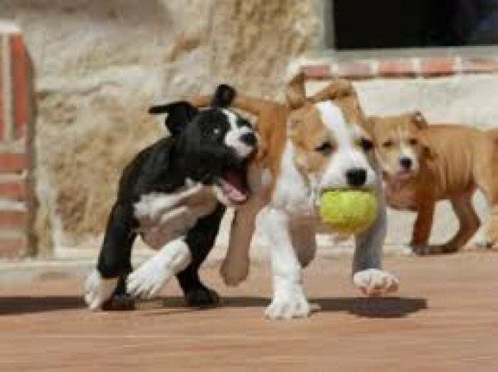 American Staffordshire Terrier Puppies for Sale   Handmade
