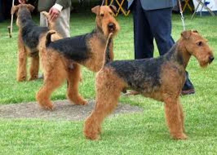 Airedale Terrier Puppies for Sale | Handmade Michigan