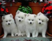 American Eskimo Dog (Miniature) Puppies For Sale