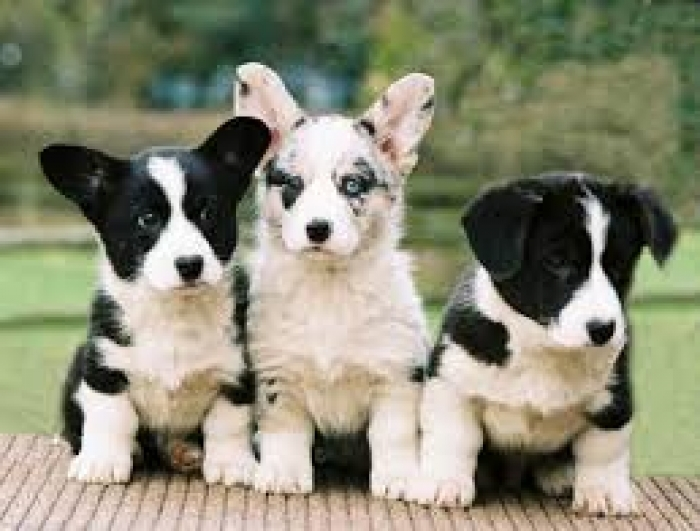 Cardigan Welsh Corgi Puppies For Sale Handmade Michigan