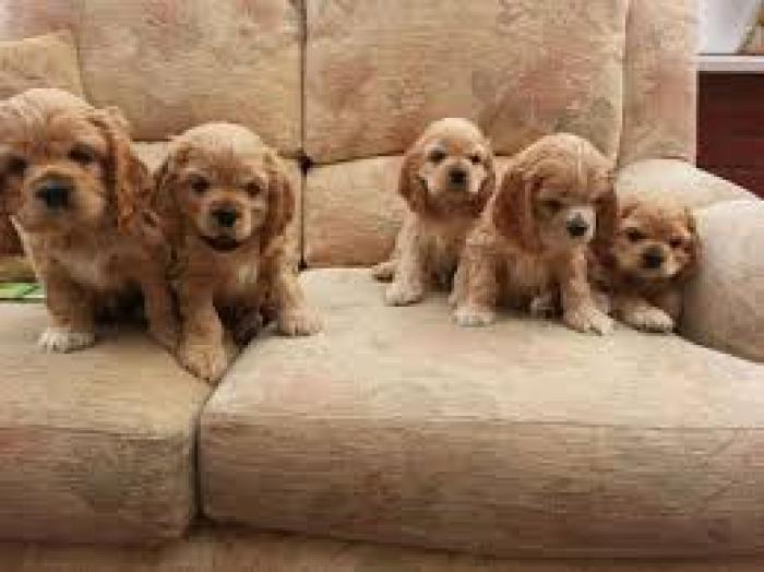 American Cocker Spaniel Puppies For Sale Handmade Michigan