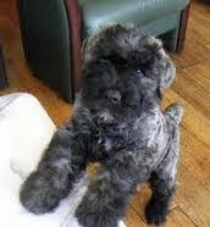 Bouvier Des Flandres Puppies For Sale Handmade Michigan