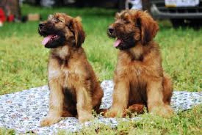 Briard Puppies For Sale Handmade Michigan
