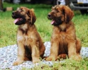 Briard Puppies For Sale