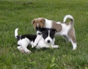 Canaan Dog Puppies For Sale
