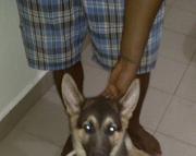 Adorable German Shepherd puppies. Text ( 2-405 )83-03--47