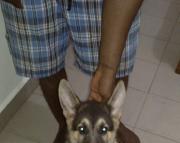 Cool German Shepherd puppies. Text ( 2-405 )83-03--47