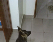 2 AKC German Shepherd puppies. Text ( 2-405 )83-03--47