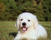 KCSHG Golden Retriever puppies 505x652x7165