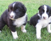 KZ Border Collie Puppies