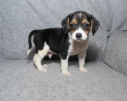 Intelegent Beagle Puppies ready for new homes