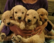 happy Goldendoodles & Labradoodles Available Now!!!