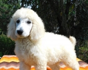 extraordinary Goldendoodles & Labradoodles Available Now!!!