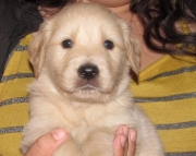NNMM Golden Retriever Puppies