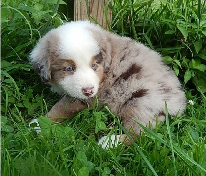 Dae Gse Australian Shepherd Puppies for Sale | Handmade Michigan