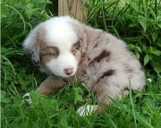 dae gse  Australian Shepherd Puppies For Sale