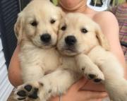 gsg Golden Retriever Puppies For Sale