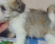 fdh Havanese Puppies For Sale