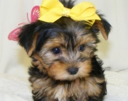 dfs Yorkshire Terrier Puppies For Sale