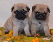 rtr  pug puppiies for sale