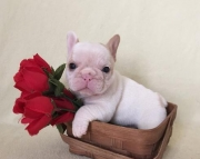 adf  French Bulldog Puppies For Sale