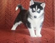 erta Siberian Huskie puppies for sale