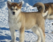 ert Alaskan klee kai puppies for sale