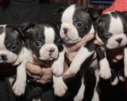 rew Boston terrier puppies