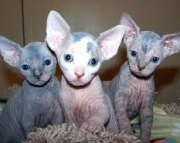 Nice Cute Sphynx Kittens Available today 971x231x5532